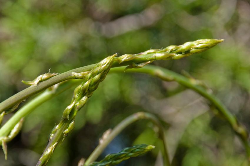 Wild Asparagus Plant Wild Asparagus Has a Much